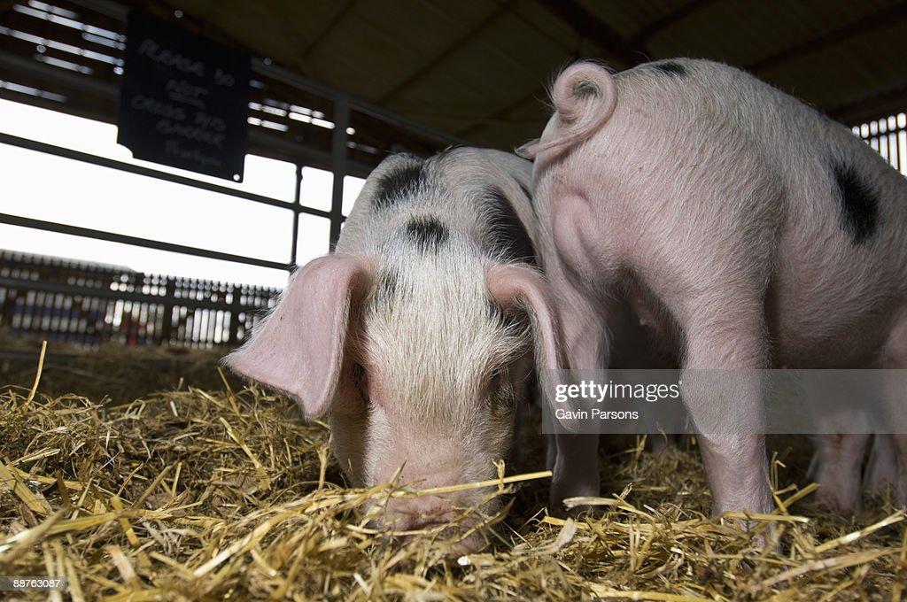 Gloucester Old Spot Piglets (Sus scrofa domestica) in barn, Church farm, Suffolk, UK