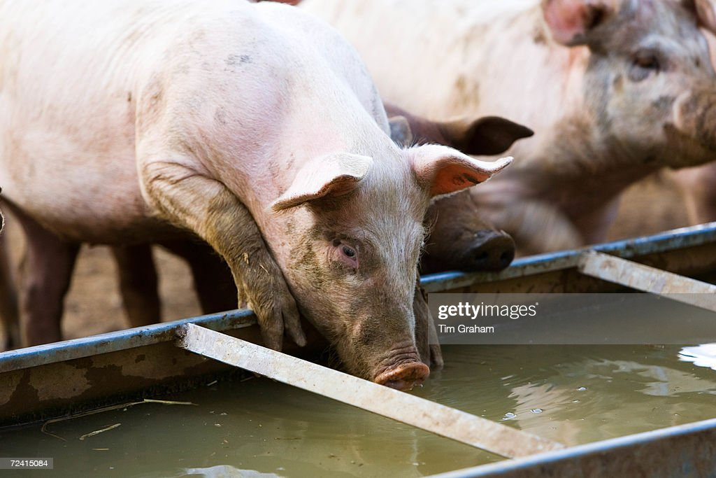 Gloucester Old Spot pigs drink from a trough Gloucestershire United Kingdom