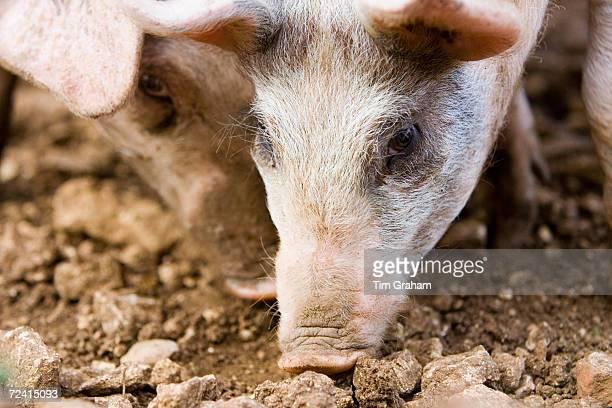 Gloucester Old Spot pigs Gloucestershire United Kingdom