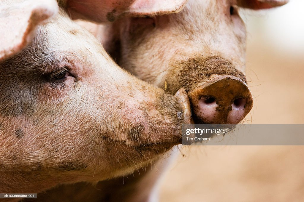 Gloucester Old Spot Pigs, UK