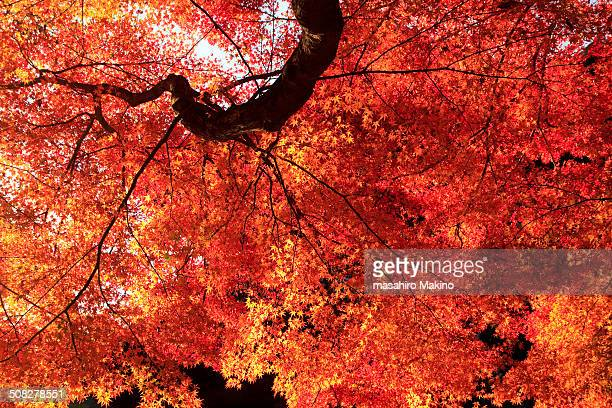 Glowing Japanese maple tree