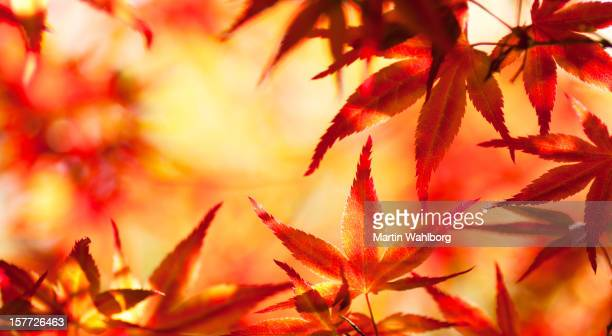Glowing Maple