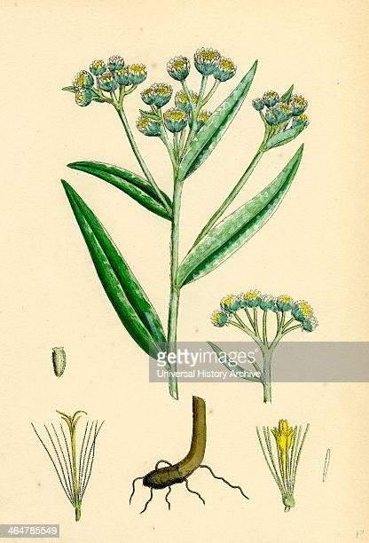 Gnaphalium margaritaceum Pearly Everlasting