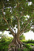 Gnarled fig tree outdoors
