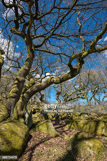 Gnarled Oak trees at Burbage brook, Derbyshire