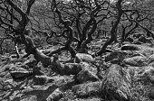 Gnarled old oaks at Burbage brook, Derbyshire