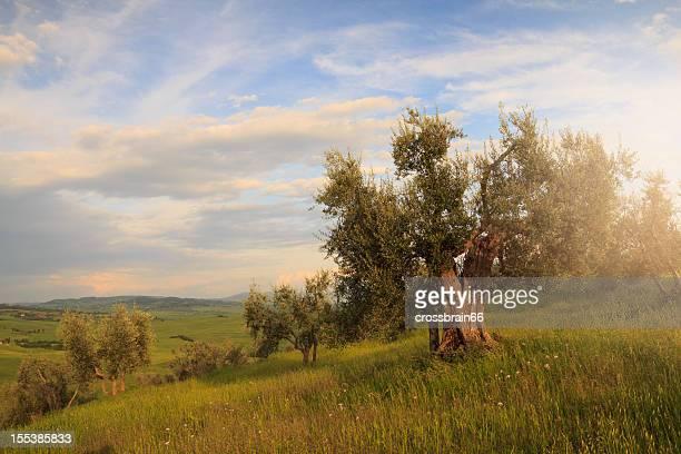 gnarled 成熟したオリーブの木の美しい田園地帯