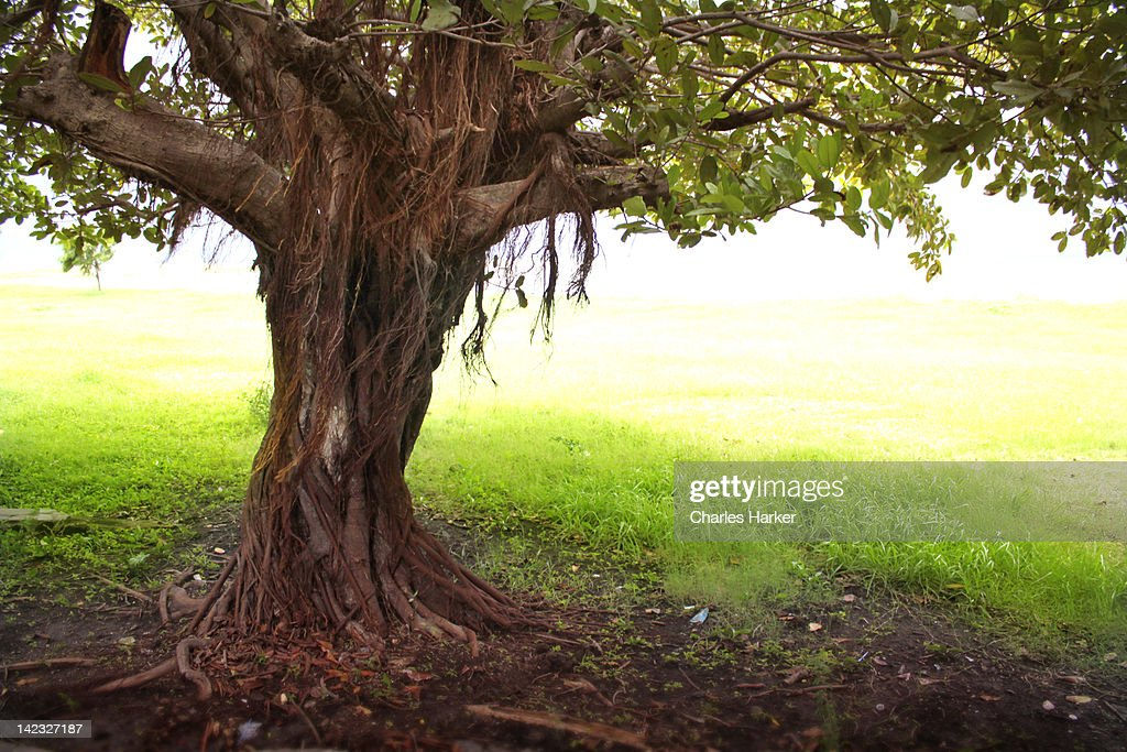 Gnarled tropical tree trunk in Nicaragua : Stock Photo