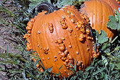 Gnarly Orange Pumpkins are the new favorite pumpkins at the Pumpkin farm this year .