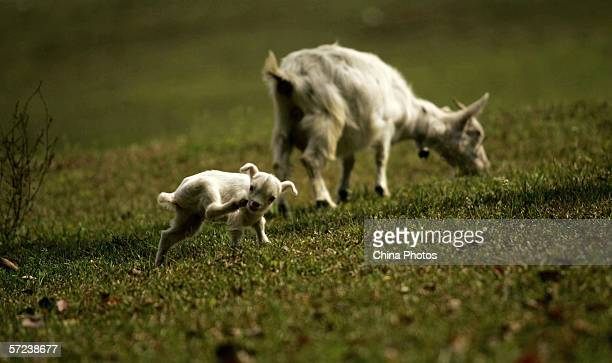 A goat and a kid graze in a Dabieshan Mountain Area field April 2 2006 in Macheng of Hubei Province China The Dabieshan Mountain Area lies on the...