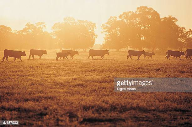 Goat and cattle walking across field