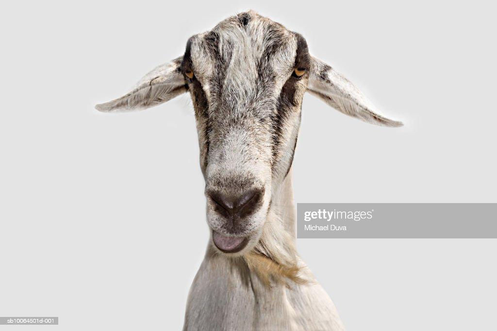 Goat, close-up of head
