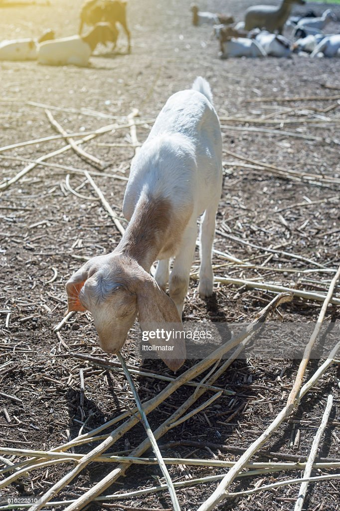 goat eating a dry grass,filtered image : ストックフォト
