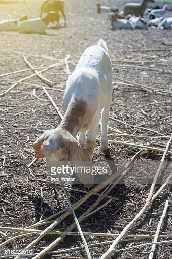 goat eating a dry grass,filtered image : Stockfoto