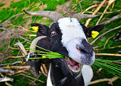 People friendly goat chewing a bunch of green grass. Really funny animal face!