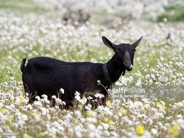 Goat eating in a field of flowers.