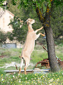 Goat eating the branches of a tree