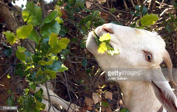 A goat eats away at a tree June 20 2002 in Redwood City California The San Francisco Public Utilities Commission is renting a herd of approximately...