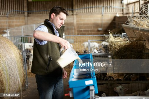 Goat farmer feeding kids : Stock Photo