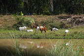 Goat feed in nature canal.