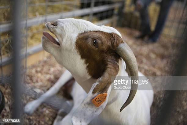 A goat gives birth at the Iowa State Fair on August 6 2014 in Des Moines Iowa The fair opens to the public on August 7 2014 and runs through August...