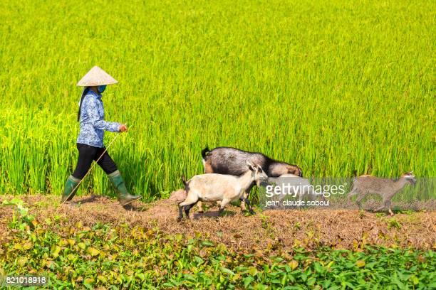 Goat Guardian, in Ninh Binh Privince (Vietnam)