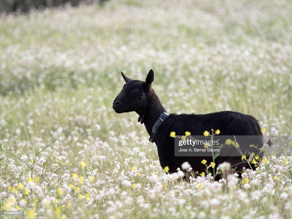 Goat in a field of flowers.