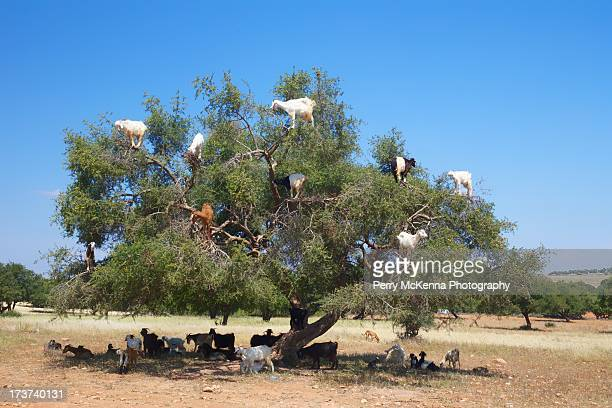 Goat in Argan Tree