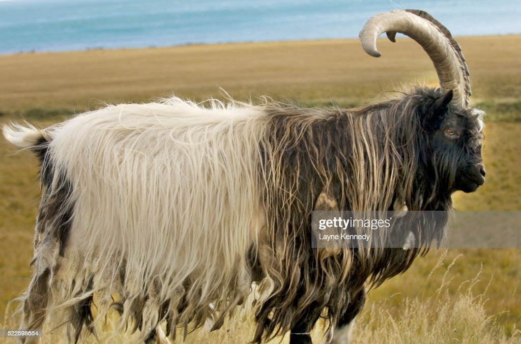 Goat in Iceland