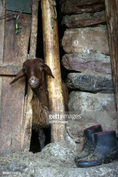 A goat is pictured in a local farm inside the Kandovan village The tiny village of Kandovan in the Iranian East Azerbaijan Province is known for its...