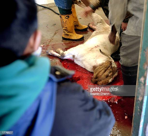 A goat is sacrificed at an animal butchery as part of the Muslim Eid al Adha holiday February 11 2003 in the New York City borough of Queens Eid al...