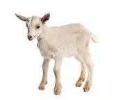 Goat kid (8 weeks old) isolated on white