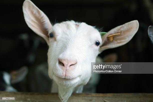 Goat looking at camera