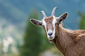 A goat looks at us