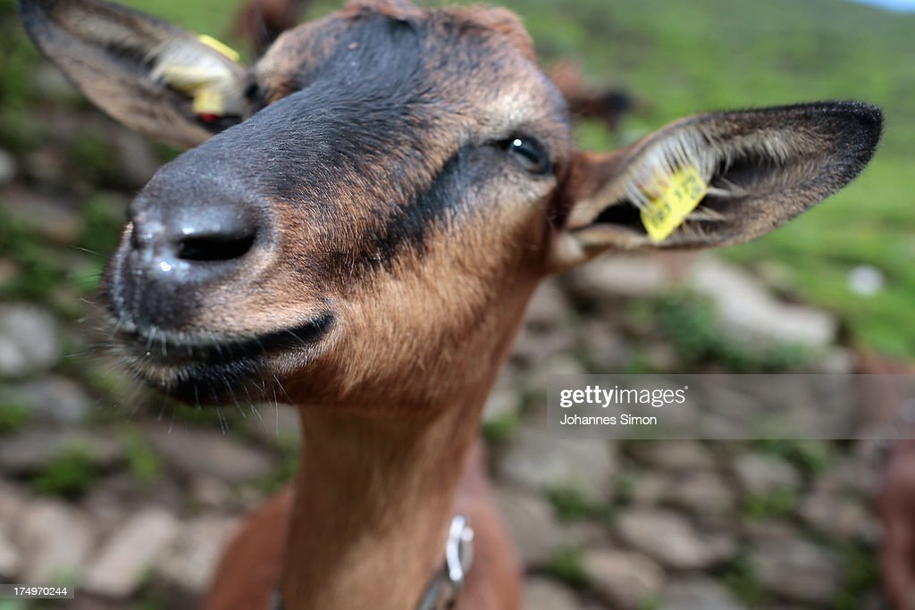 A goat looks on near alpine dairy Alpe Albona in the Vorarlberg mountain range of western Tyrol on July 25 2013 near Bludenz Austria Alpine dairy...