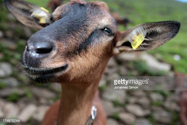 A goat looks on near alpine dairy Alpe Albona in the Vorarlberg mountain range of western Tyrol on July 25 2013 near Bludenz Austria Alpine dairy...