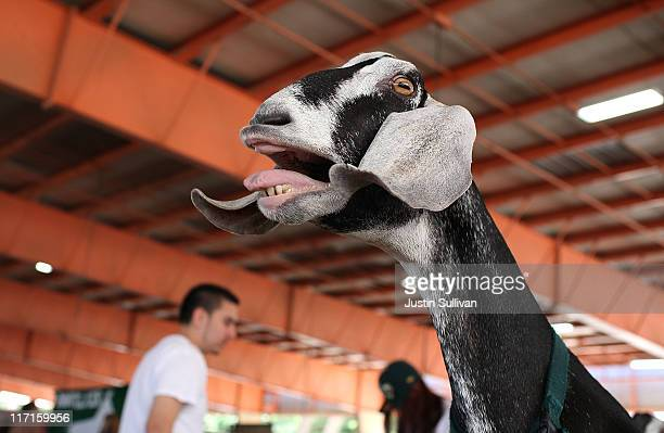 A goat makes noise in the livestock barn at the Alameda County Fair on June 23 2011 in Pleasanton California The Alameda County Fair is celebrating...