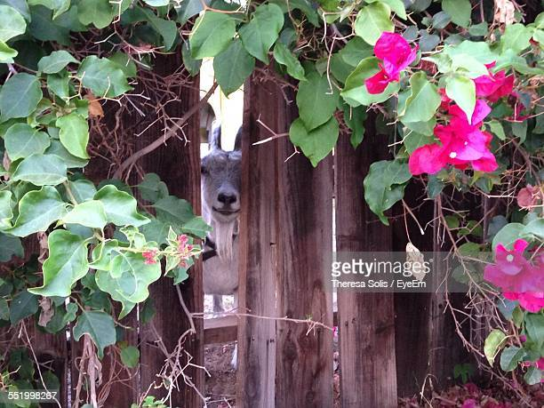 Goat Peeking From Wooden Fence With Pink Bougainvillea Flower