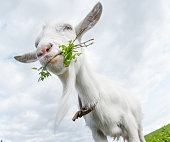 Goat with the bunch of fresh green grass standing on a summer meadow