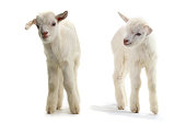 two goats kid ( 7 day ) isolated on white