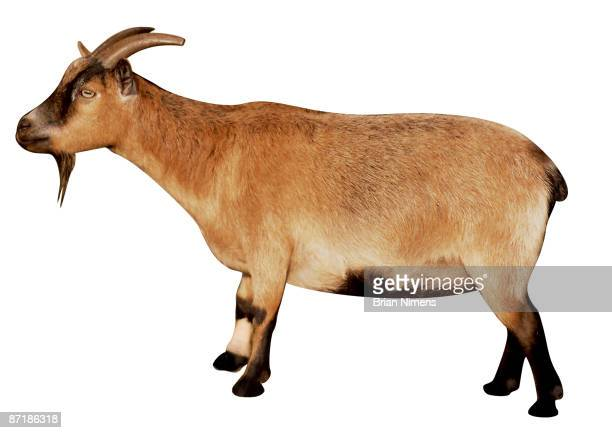 Goat (Clipping Paths Included)
