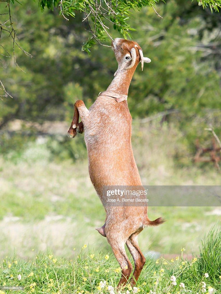 Goat raised on two legs