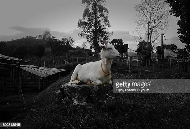 Goat Relaxing On Rock At Field