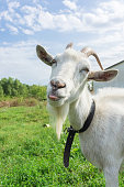 Goat shows tongue on grass, village, summer