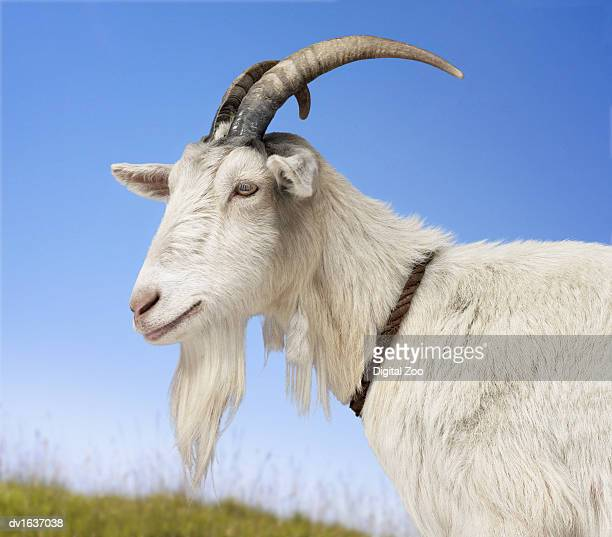Goat Standing in a Field