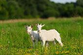 goatling on the green grass