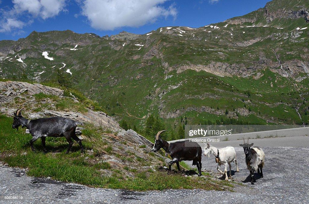 Goats along a mountain trail