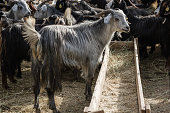Goats and sheep at animal market in Turkey