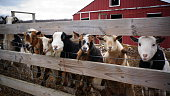 Seven goats lined up at a wooden fence at a farm, with a red barn in the background.
