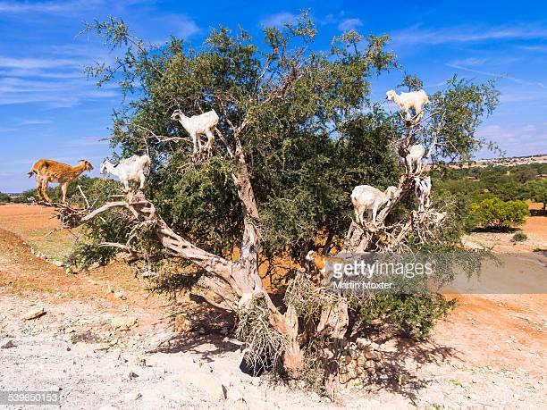 Goats -Capra- feeding on Argan fruits or Argan nuts on an Argan tree -Argania spinosa-, Chouaker, Essaouira Province, Marrakech-Tensift-Al Haouz, Morocco